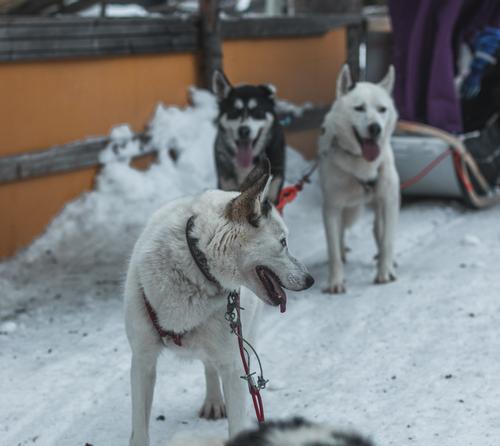 Ireki, informations sur les sorties en chien de traîneau